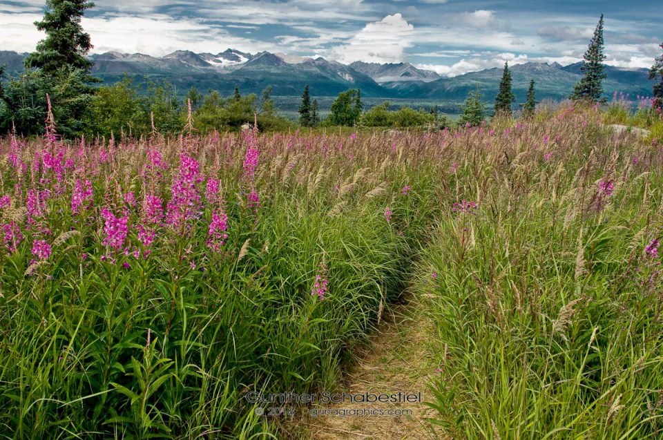 Fireweed Pathway