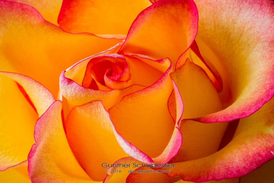 Two Toned Rose