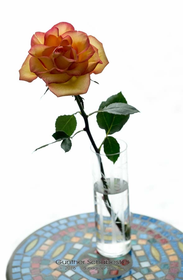 Two Toned Rose on white