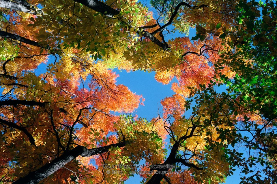 Looking Up at fall colors.