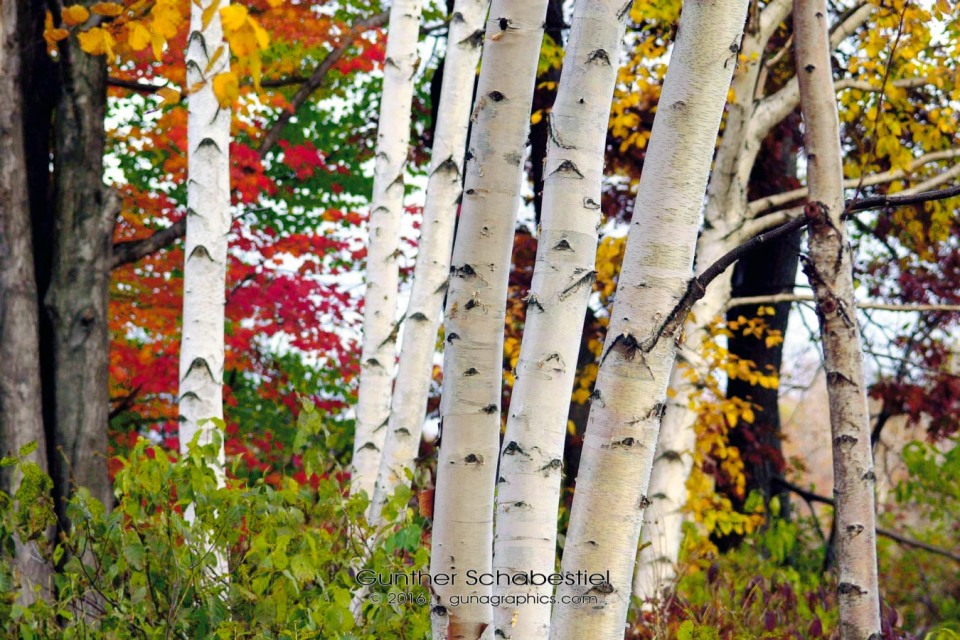 Caseville Birches 2